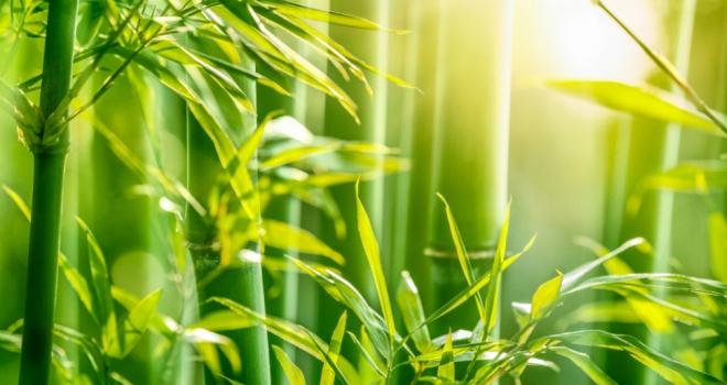 Bamboo 555